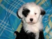 Adorable Sweet Tibetan Terrier Puppies for sale
